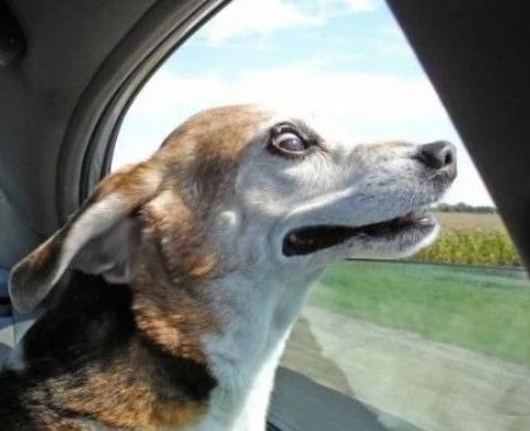 Very funny Dog Looking out the car Window in the Wind
