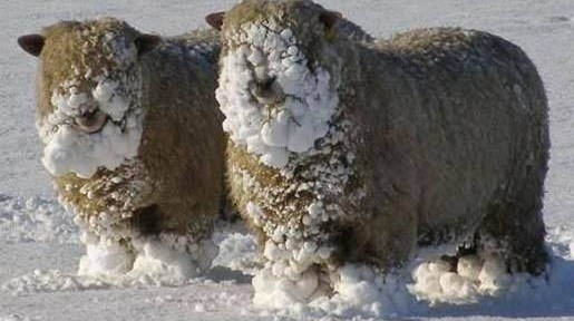 Top 10 Best Pictures of Funny Sheep