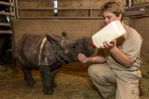 Baby Rhino Being Bottle Fed