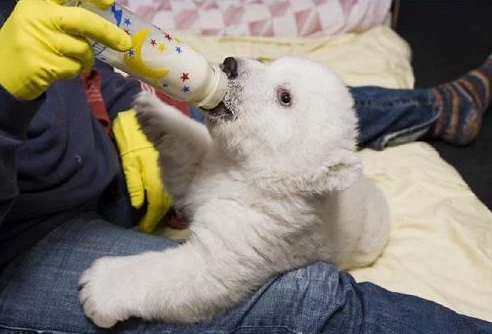 Polar Bear Being Bottle Fed