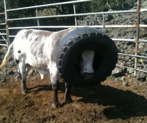 Cow with head stuck in tractor tyre