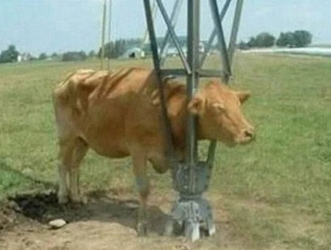 Cow with head stuck in steel support stand