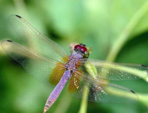 Magenta Dragonfly - Trithemis aurora