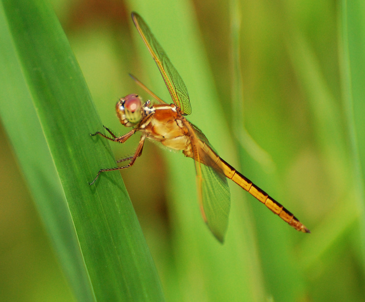 Top 10 Unusual and Amazing Dragonflies