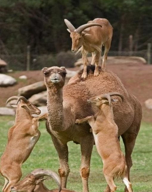 Goats Climbing onto the camels back