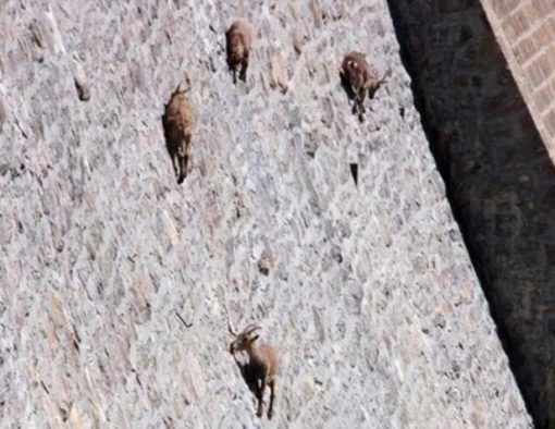 Goat Climbing Dam