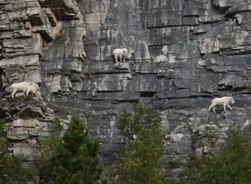 Mountain Goats Climbing a mountain