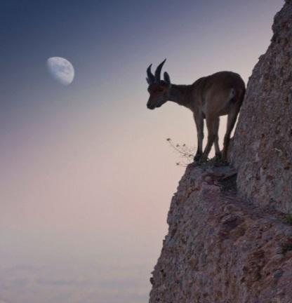 Mountain Goat Climbing a cliff