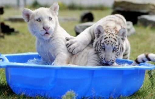 White tiger cubs in paddling pool