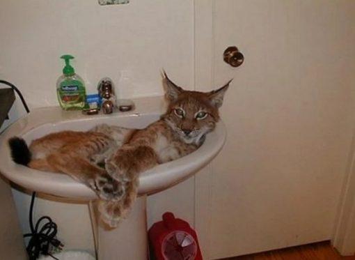 Bobcat in a Sink