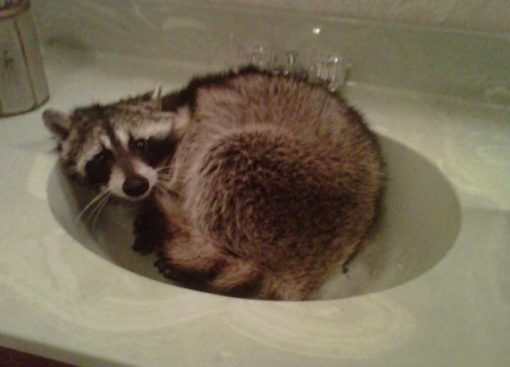 Racoon in a Sink