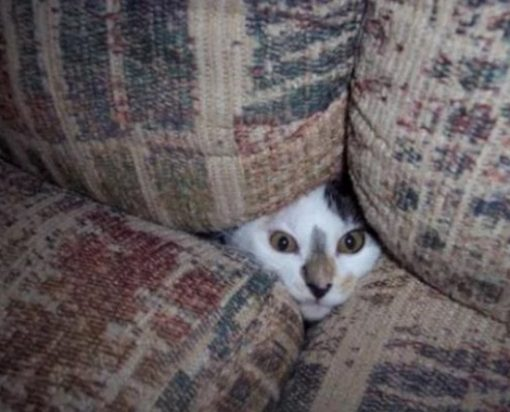 Cat Disguised as a sofa