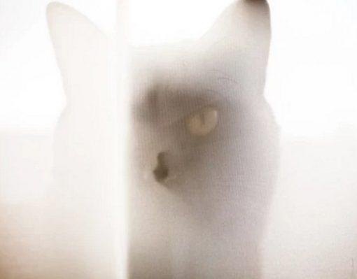 Cat hiding behind net curtain