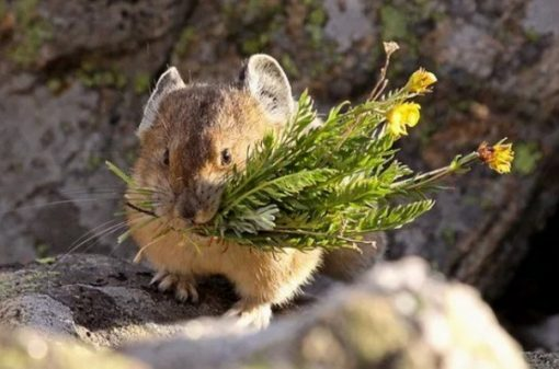 Pikas with a mouthful of wildflowers