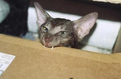 Cat Showing Fangs
