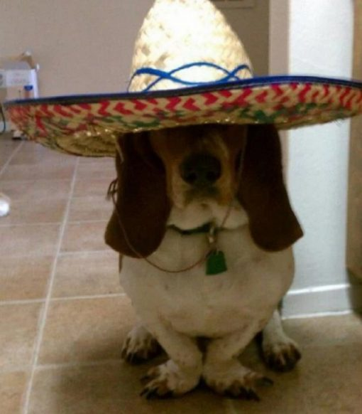 Funny Basset Hound wearing a sombrero