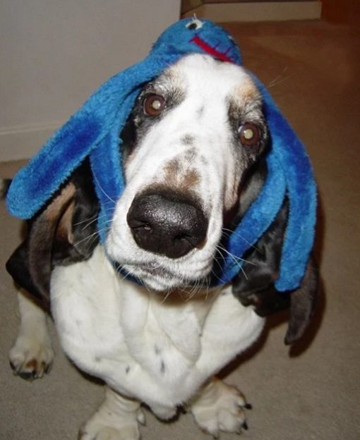 Funny Basset Hound With Toy Octopus on its head
