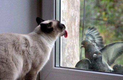 Cat Licking a Window