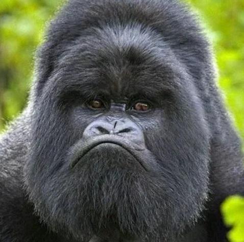 Grumpy Gorilla