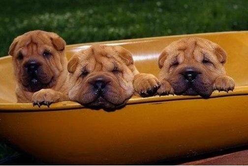 3 dogs in a wheelbarrow
