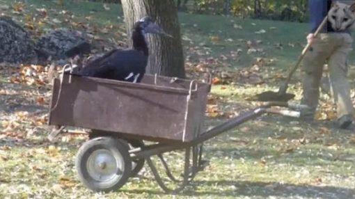 Hornbill in a wheelbarrow