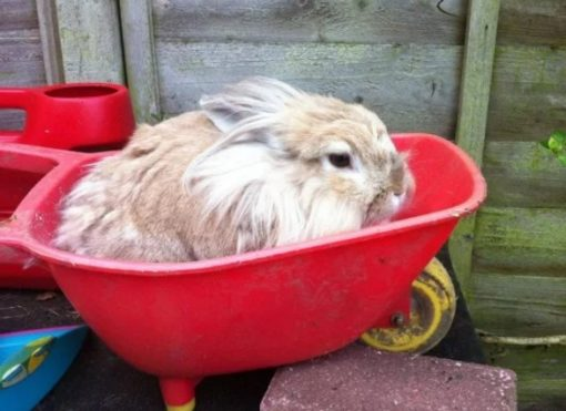 Rabbit in a wheelbarrow