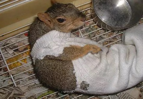 Squirrel wearing a sock