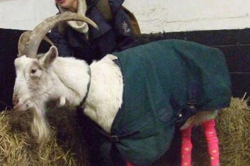 Goat wearing socks