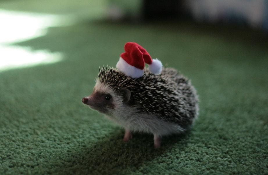 Top 10 Best Images of Animals in Santa Hats