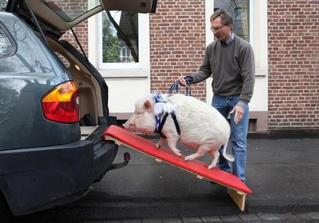 Pig travailing in a car