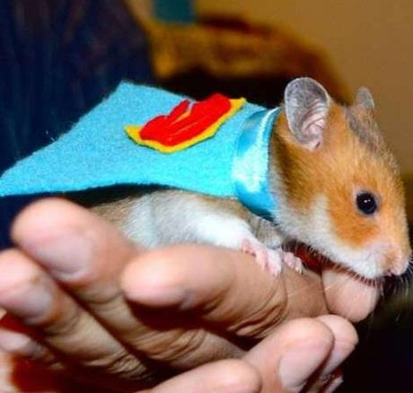 Hampster in a Superman Costume