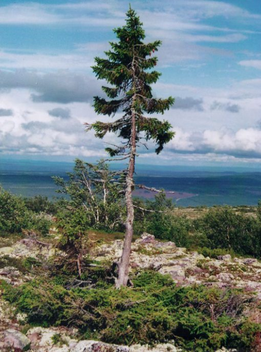 The oldest tree in the world - United States