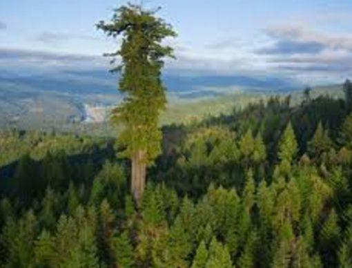 World's tallest tree, United States