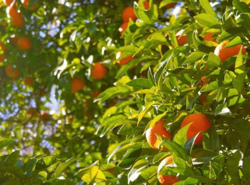 India Orange Production
