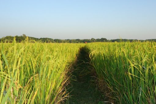 Bangladesh Rice Production