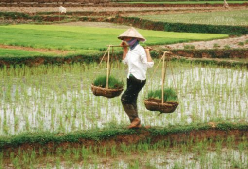 Vietnam Rice Production