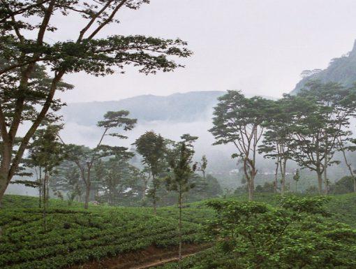 Sri Lanka Tea Production