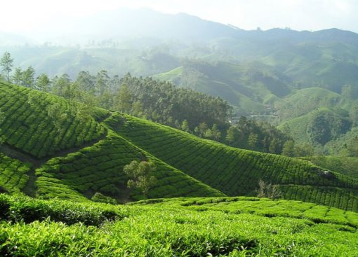 Vietnam Tea Production