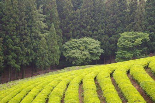 USSR Tea Production
