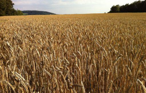 Canada Wheat Production