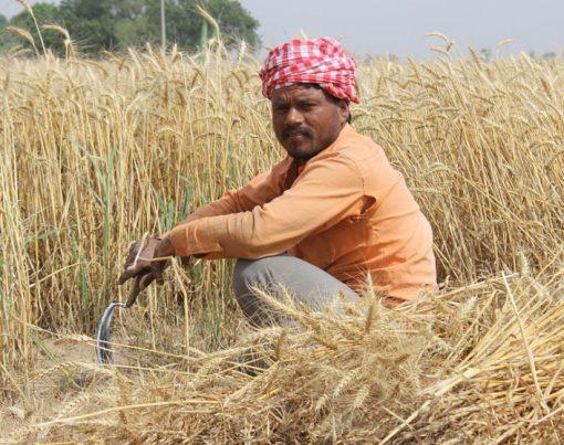 Pakistan Wheat Production