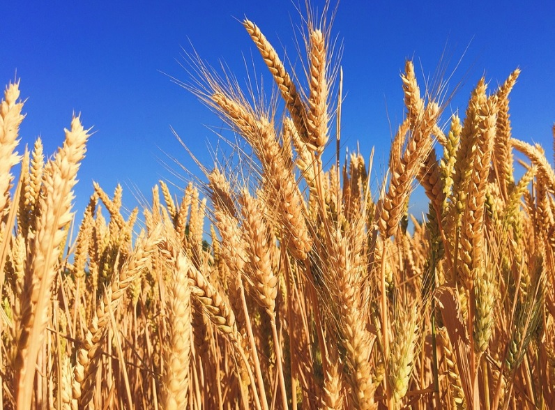 The Top 10 Most Wheat Producing Countries in the Entire World