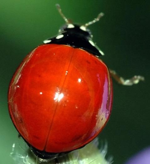 Red Shell, No Spots Ladybug/Ladybird