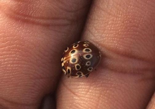 Brown Shell, Black Spots Ladybug/Ladybird