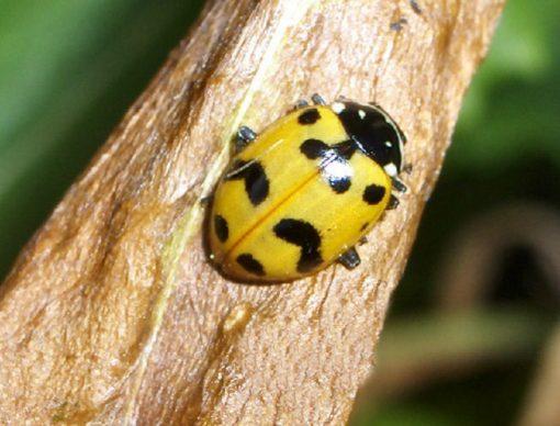 Yellow Shell, Black Spots Ladybug/Ladybird