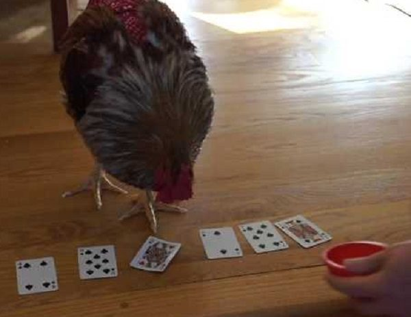 Chicken Playing Poker