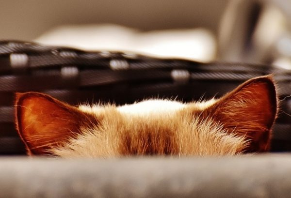 Top 10 Funny Cats Ears and How They Give the Game Away