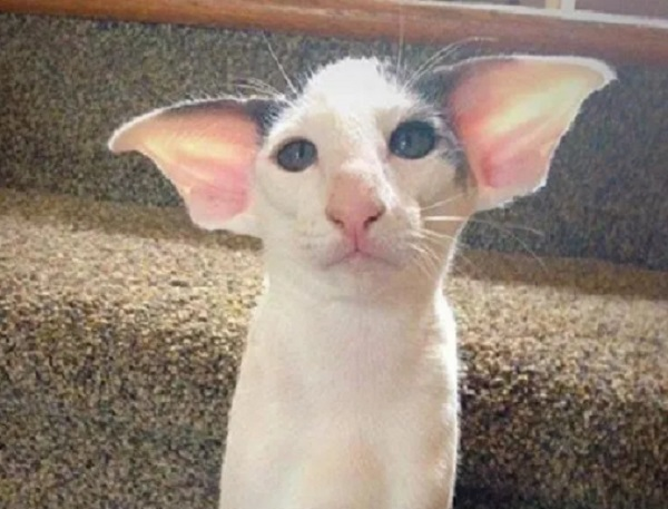Ten of the Strangest, Funny and Most Unusual Cats Ears