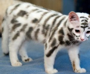 Ten of the Worlds Rarest Species of Cat and Where to Find Them