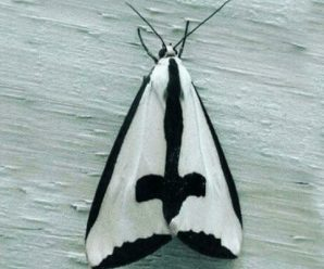 Ten of the Worlds Rarest Species of Moths and Where to Find Them